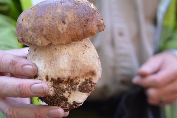 The beloved bolete mushroom. Coveted across America and Europe. Also know as ceps or porcini.